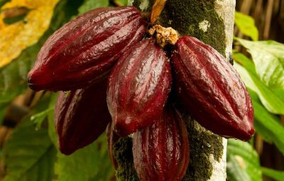 Aduna_Super-Cacao_Pod_tree