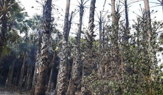 தெல்லிப்பழைப் பகுதியில்   50 க்கும் மேற்பட்ட பனைமரங்கள் முற்றாக பற்றி எரிந்தன