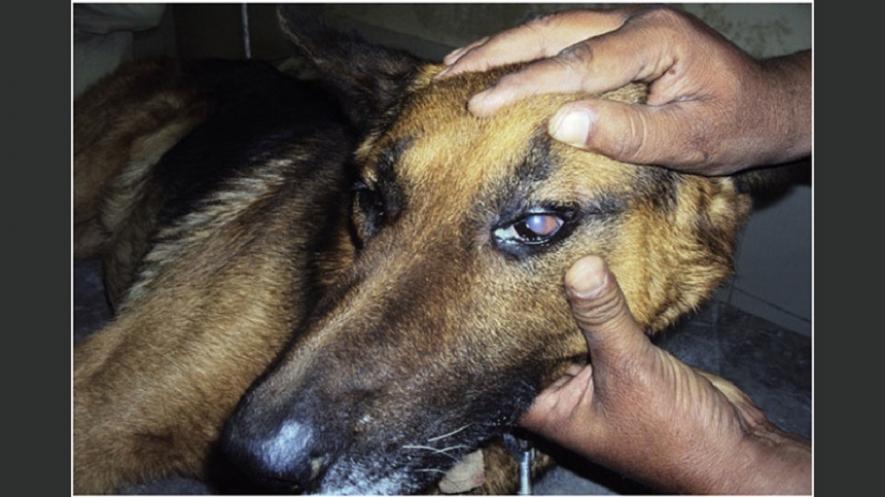 நாய்களால் பரவும் புது வகை நோய் : இலங்கையிலும் கண்டுபிடிப்பு