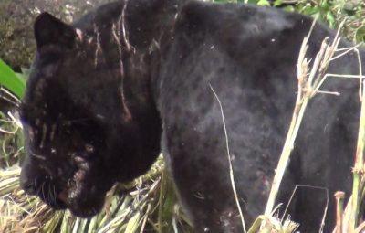 Black Tiger (27)